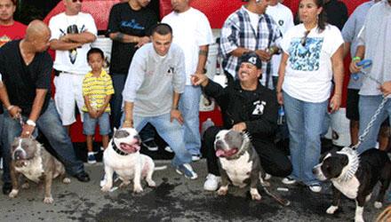 New England Gotti Line - Bully Pitbull Breeders : Kennels